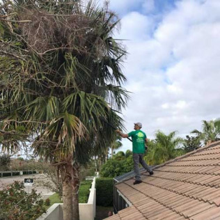 A tree service  man trimming a large tree in Sarasota, FL
